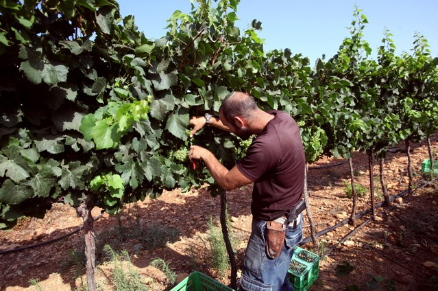 Grape harvest in the Israeli settlement of Psagot, July 2017